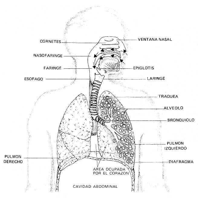 Esquemas del sistema respiratorio - Imagui